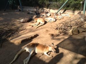 Kangaroos at rest.