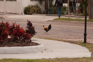 We kept hearing a rooster crowing, and sure enough, there was a rooster.