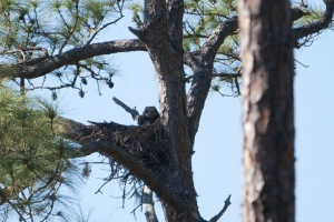 Great Horned Owl in nest.