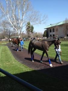 Walking the horses.