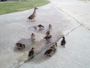 Mama and 10 baby Mallards.
