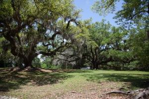 Old oak trees.