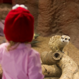 Violet and the meercat