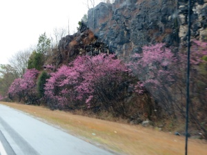 Redbuds in bloom in northern AL (Sat. 3/29)