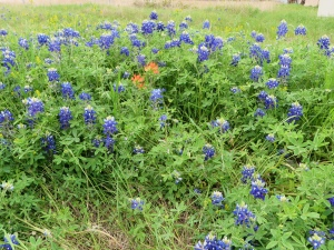Texas Bluebonnets (Wed. 4/2)