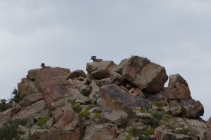 Bighorns at the top of a hill in Garden of the Gods