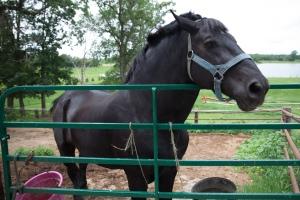 Draft plow horse